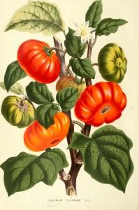 botanical-flore-des-seres-et-des-jardins-de-leurope-tomato-solanum-sp